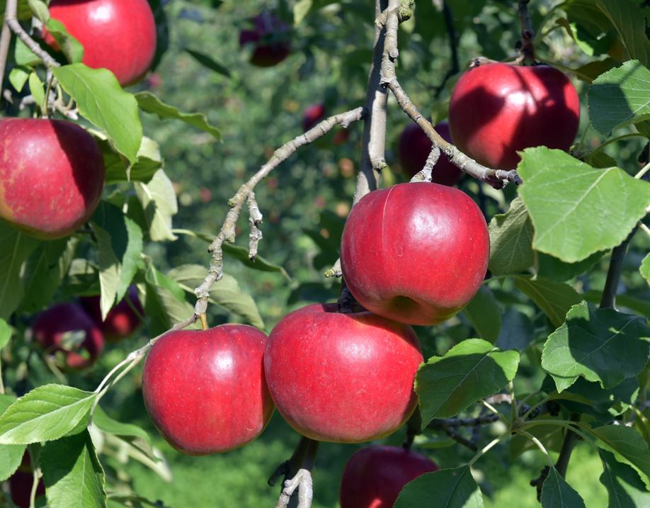 葉とらず栽培される青森のりんご