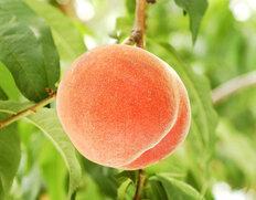 『春日居の桃』