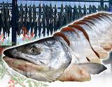 『山漬寒風干し 極上秋鮭』 北海道・えりも産 約2.5kg(姿切り身) ※冷凍