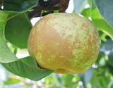 『秋麗(しゅうれい)梨』 熊本県産 秀品 約1.8kg(5〜7玉)×2箱 ※冷蔵