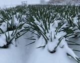 『雪下とろねぎ』 福島県会津若松産 約3kg(13〜17本)×2箱 ※常温