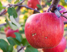 ぶさいくちゃんおすそわけプロジェクト『大野農園の雹害りんご』