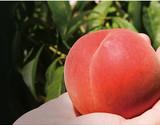 福島オリジナル品種限定 菱沼農園がつくる 5品種桃リレー(はつひめ、あかつき、ふくあかり、かぐや、黄ららのきわみ)約2キロ