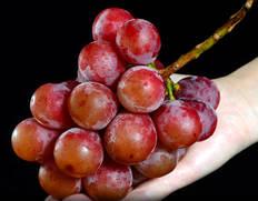 希少な赤いブドウ「クイーンニーナ」